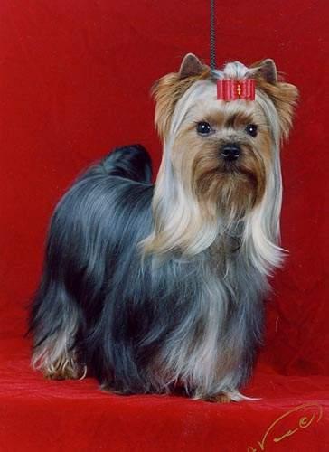 Yorkshire Terrier Dog Breed Information - Vetstreet.com is