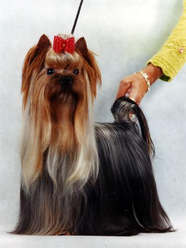 Yorkshire Terrier Breeders & Puppies for sale in Minnesota
